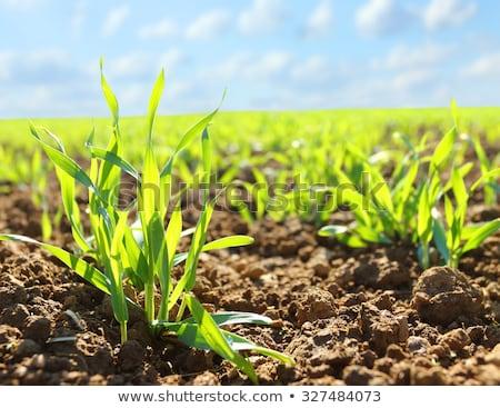 genç · arpa · yeşil · büyüyen · alan · manzara - stok fotoğraf © badmanproduction