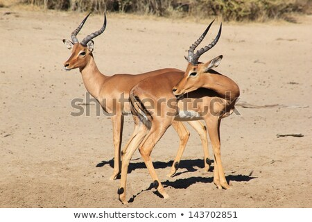 Impala, Common - Wildlife in the wild and free from Africa.  Getting that itch Stock photo © Livingwild