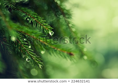 Tree spacing in pine forest at spring Stock photo © tainasohlman