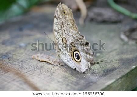 Owl butterfly Caligo ready to eat Stock photo © dacasdo