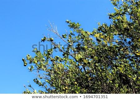fresh lemons on lemon tree blue sky nature summer Stock photo © juniart
