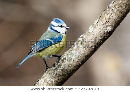 Blue Tit (Parus caeruleus) stock photo © dirkr