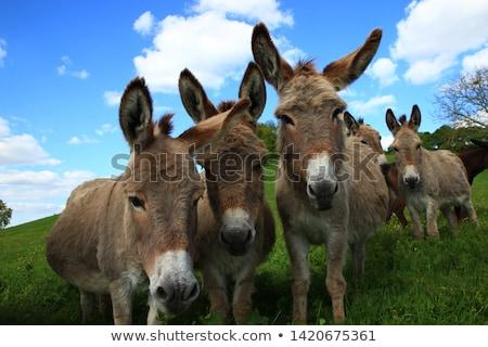 Grazing donkeys Stock photo © hraska