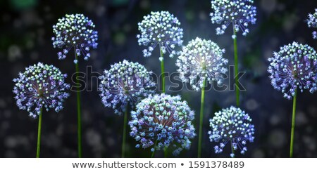 White Allium ornamental flowers in full bloom Stock photo © AlessandroZocc
