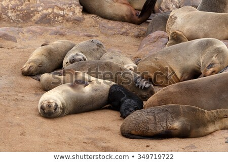 small sea lion   brown fur seal in cape cross namibia stock photo © artush