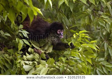 staring colombian spider monkey stock photo © tilo