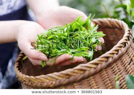 Stock photo: Worker harvesting green tea