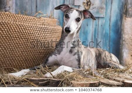 画像 · 美しい · 犬 · 白 · 自然 · 立って - ストックフォト © cynoclub