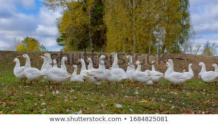 ducks on a grass  Stock photo © inxti