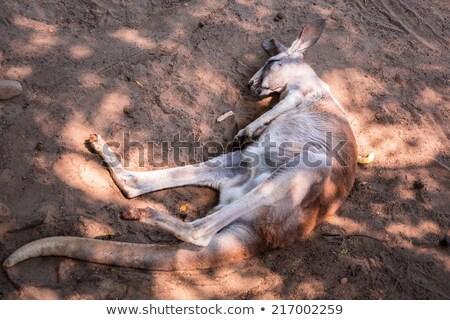 Kangaroo sleeping on the ground Stock photo © epstock