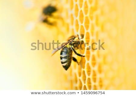Pracy plaster miodu pszczół miodu około ul Zdjęcia stock © jordanrusev