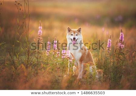 Stok fotoğraf: çift · sevgililer · günü · çiçek · köpek · sevmek · mutlu