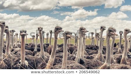 ostrich herd stock photo © njaj