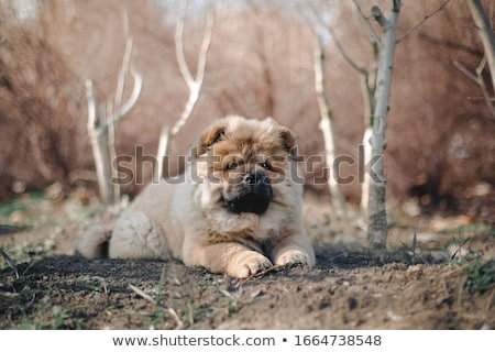 chow chow dog Stock photo © cynoclub