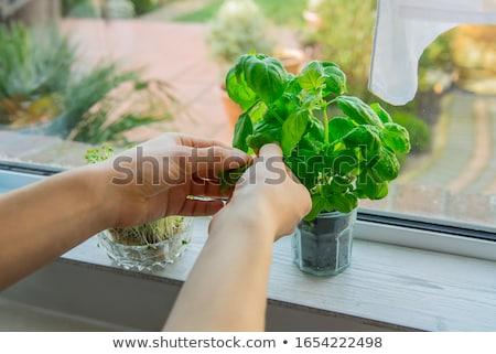 freshly picked organic watercress Stock photo © Klinker