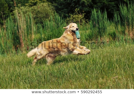 Typisch bruin retriever tuin voorjaar triest Stockfoto © CaptureLight