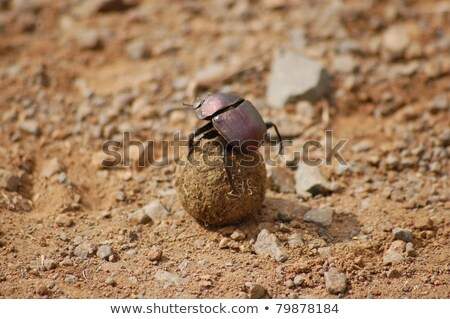 Besouro bola parque África do Sul natureza animais Foto stock © simoneeman