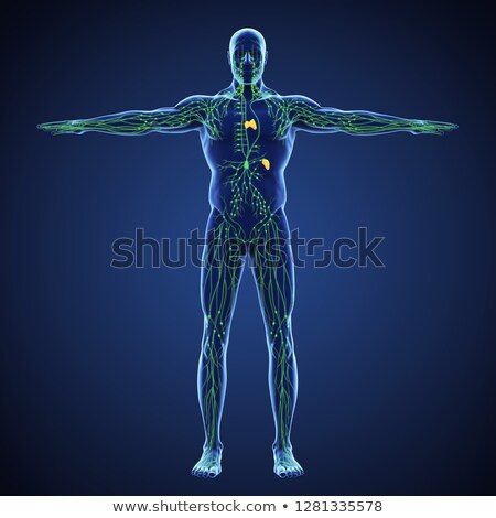 Stock photo: Lymphatic System
