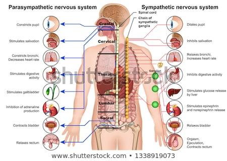 神経系 実例 人間 医療 薬 ストックフォト © bluering