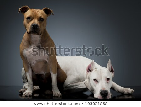 Argentin Dog and Staffordshire Terrier on the floor Stock photo © vauvau