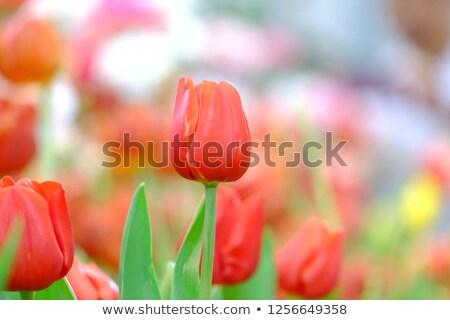 Lâle çerçeve örnek vektör bahar Stok fotoğraf © yo-yo-
