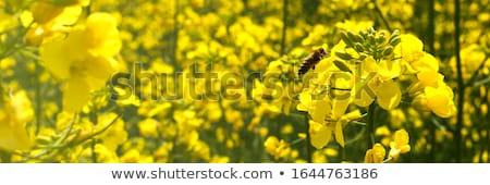 Field Of Oilseed Rape Stock photo © monkey_business