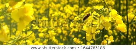 Campo violación verano azul horizonte agricultura Foto stock © monkey_business