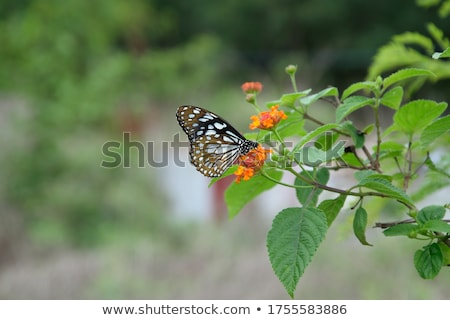 Blue Tiger (Tirumala hamata) stock photo © dirkr