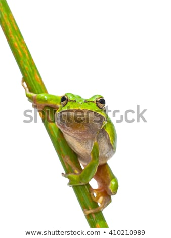 isolated cute european tree frog Stock photo © taviphoto