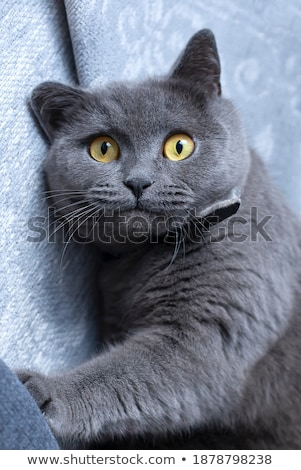 lying surprised grey cat with blue eyes looks up Stock photo © feedough