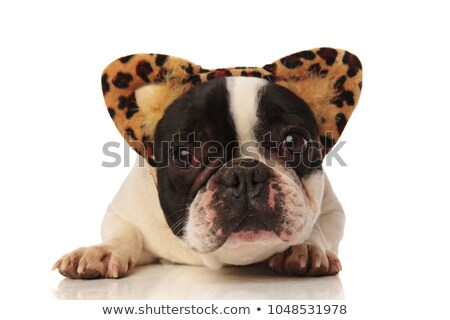 cute french bulldog with leopard ears lies stock photo © feedough
