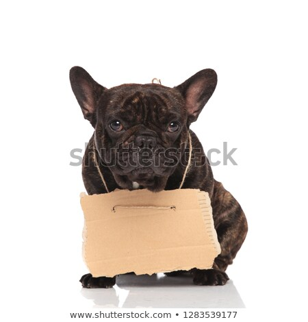 Cute frans bulldog lege billboard Stockfoto © feedough