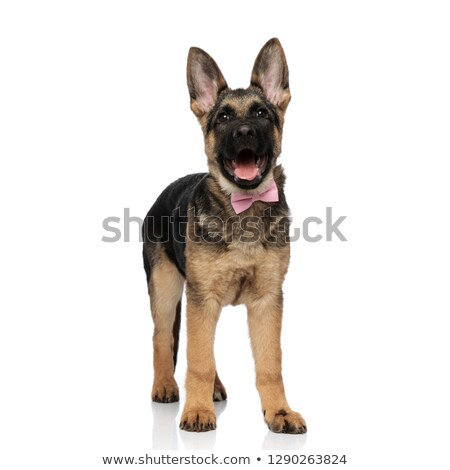 adorable german shepard with mouth open and pink bowtie Stock photo © feedough