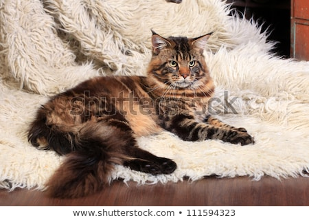 Stock photo: Beautiful black brown tabby with white Maine Coon cat kitten