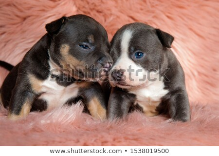cute American bully puppy yawning in pink background Stock photo © feedough