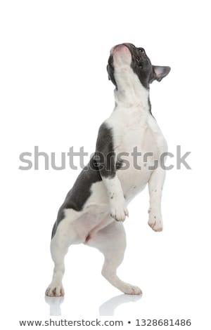 playful french bulldog standing on back legs stock photo © feedough