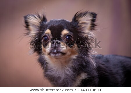 family chihuahua in studio stock photo © cynoclub