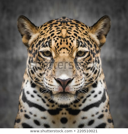 Close up of a big male Leopard. Stock photo © simoneeman