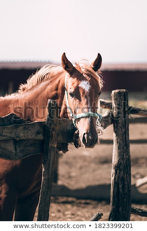Purebred mare and stallion with white manes standing by wooden fence Stock photo © pressmaster