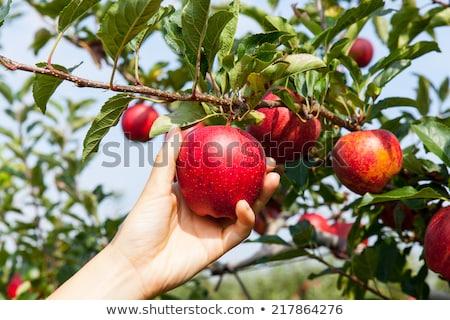 Kertészkedés gazdálkodás szőlőszüret almák kert emberek dolgoznak Stock fotó © robuart