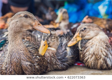 duck for sale on the Vietnamese market. Asian cuisine concept Stock photo © galitskaya