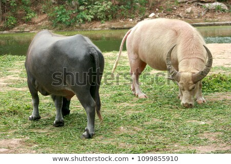 Albino água jardim zoológico Tailândia natureza fundo Foto stock © stoonn