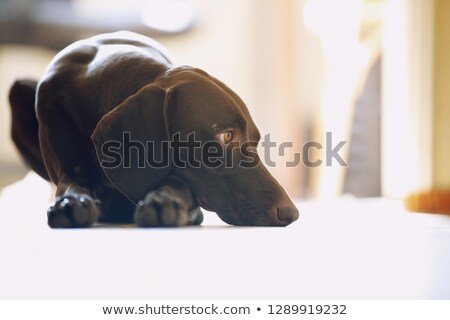Young German short-haired pointer boring at home Stock photo © Novic