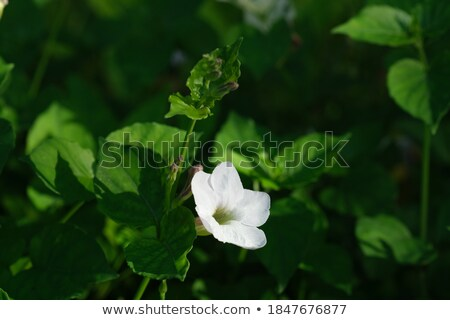Hermosa flor blanca violeta hojas verde flor Foto stock © carenas1
