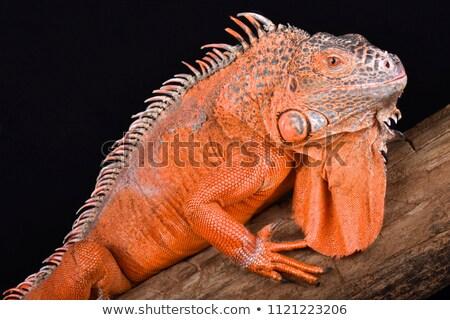 yeşil · iguana · doğa · tropikal · hayvan · ejderha - stok fotoğraf © dacasdo