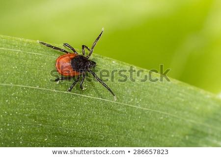 tick on grass Stock photo © smithore