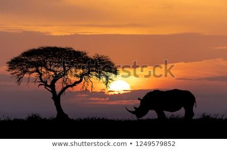 Rhino In The Savanna Sunset Zdjęcia stock © Artush