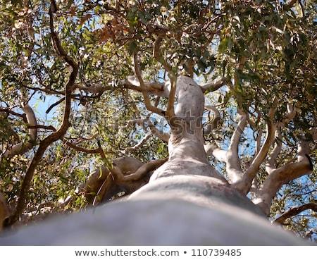австралийский · дерево · лес · красный · камедь - Сток-фото © byjenjen
