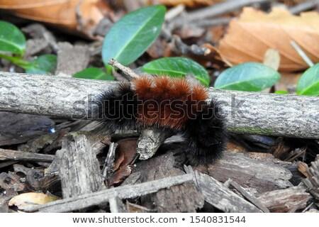 peludo · lagarta · sessão · ramo · corpo · pernas - foto stock © pictureguy