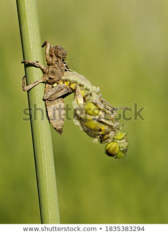 Adult dragonfly on green plant Stock photo © pzaxe